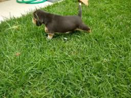 Lindos filhotes de Beagle puros