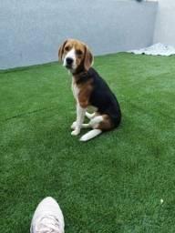 Casal Beagle Puros