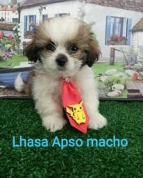 Lhasa Apso macho - para alegrar a sua casa