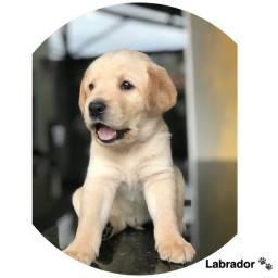Labrador com pedigree e micro chip em até 12x