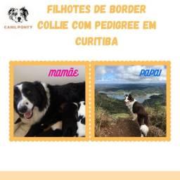 Border Collie com Pedigree Sobraci 12 x no Cartão