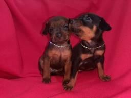 Vendo 2 casal de  filhotes pinscher $380,00 cada um