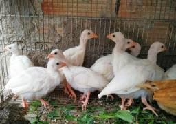 Galinhas da Angola brancas