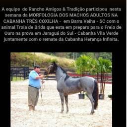 Garanhao crioulo