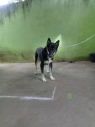 Cachorro husky siberiano 8 meses