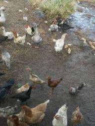 Vende se galinhas caipiras e patos