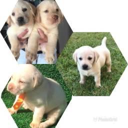 Labrador com pedigree e microchip até 12x