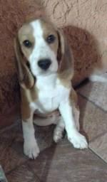 Beagle fêmea filhote
