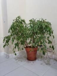 Planta + vaso