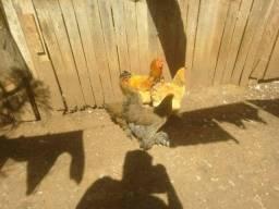 lindo casal buff e duas galinhas brahma perdiz