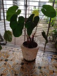 Planta natural, muito grande,vaso estilo colonial
