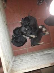 Vendo filhotinhos de rottweiler com pastor alemão