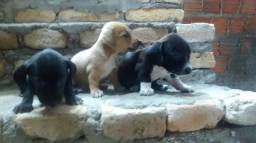 Filhotes dachshund teckel salsichinha