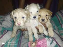 Filhote de poodle