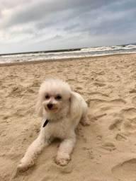 Poodle Branco Procura Namorada