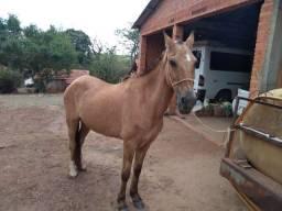 Vendo Cavalo Campolino