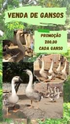 VENDA DE GANSO