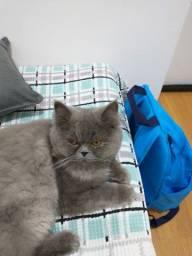Gato persa macho castrado 10 meses