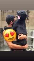 Labradora procurando um companheiro
