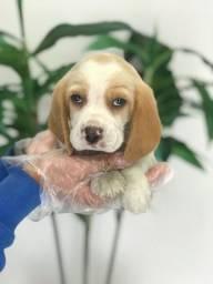 Filhotes de Beagle 03