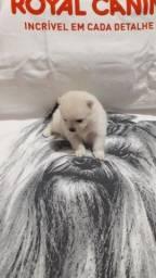 Lulu da pomeranea ou sptiz alemao anao macho branco perola
