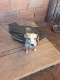 Cachorro pinscher com basset