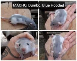 Filhotes de Rato Mercol Twister