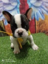 bulldog macho com pedigree