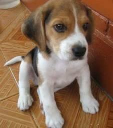 Beagle Lindos Lindos Filhotes