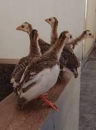 Filhotes de galinha da Angola