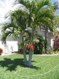 Muda de palmeira veitchia ou mini Imperial