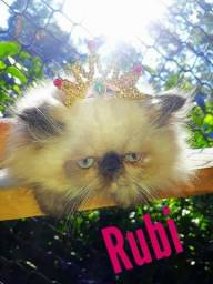 Princesa Himaláia c Pedigree ate 10x sem juros