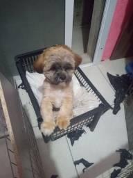 Cachorro Lhasa Apso Macho