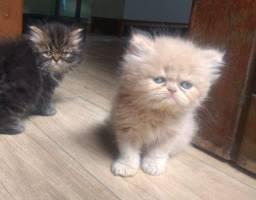 Gato persas do Himalaia