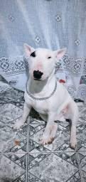 Vende - se lindos filhotes de bull terrier inglês