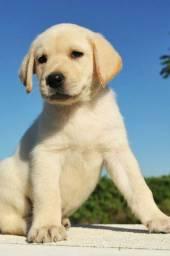 Labrador, machinhos e fêmeas com garantias de vida e saúde