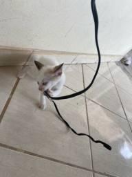 Doação 5 gatinhos siamês