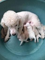 Filhote pooble  a mãe é n1  o pai e número  zero genética  pura