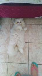 Vendo filhote de gato persa macho.