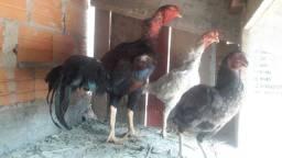 Vendo galinhas ..Telefone 98 19.91.16so no sap