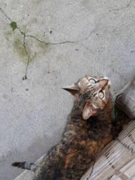 Doação de gata  adulta