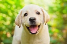 Lindos Filhotes de Labrador com Pedigree!