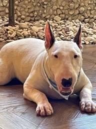 Bull Terrier venda