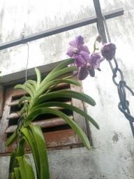 Orquidea Wanda adulta
