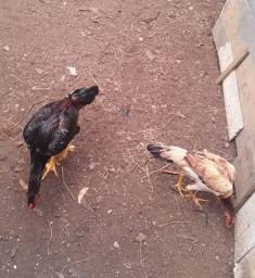 Casal de frangos