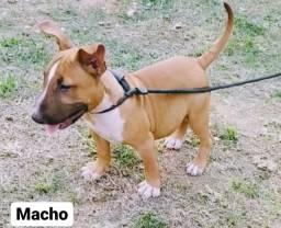 Bull Terrier Inglês / Macho Baio