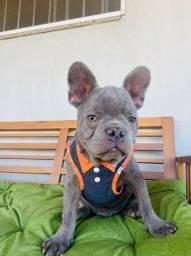 Bulldog francês macho 3000