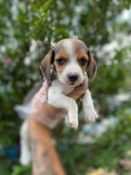 Beagle garanta seu filhote hoje, 11.237.681.07 whats
