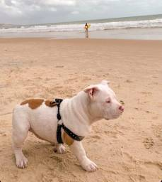 American bully TOP