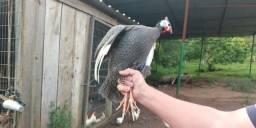 Vendo 21 galinhas de Angola 50 cada ou todas faso preço melhor